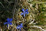 """Besonders geschützter Frühlingsenzian – im Schwäbischen auch """"Schustersnägele"""" oder Himmelsblümle"""" genannt"""