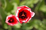 Tulpenblüte Gönningen