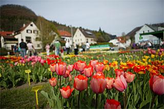 Tulpenblüte Reutlingen Gönningen