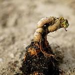 Alraune Wurzel Heilpflanze