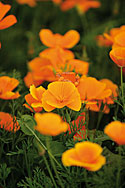 Goldmohn Heilpflanze