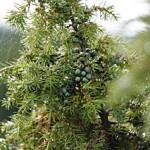Wacholder Detailkfoto Pflanze