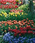Friedhofsblüte: Hier liegen die Wurzeln begraben. Die Gönninger Tulpen auf den letzten Ruhestätten sind schon seit Mitte des 19. Jahrhunderts weit bekannt. Sogar Königin Charlotte reiste 1912 an, um zu schauen.