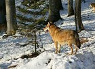 wolf_3BFW4507