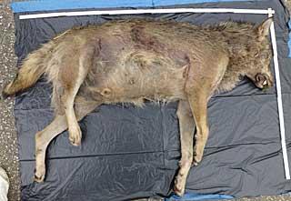 Totfund-mutmasslicher-Wolf