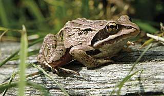 Moorbewohner – Grasfrosch und Erdkröte sind häufig.