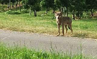 Wolf_Bodenseekreis