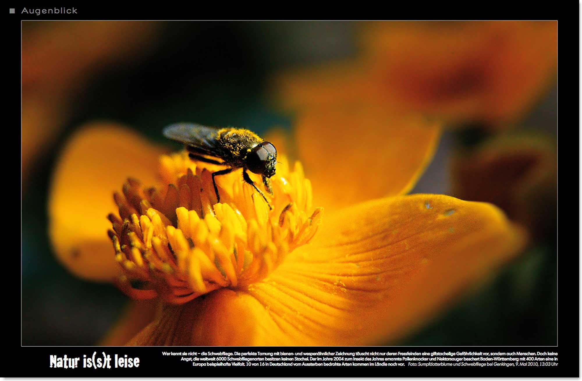 Sumpfdotterblume_Schwebfliege_Pollen