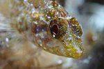 Gelbe-Spitzkopf-Schleimfisch _Foto_Nico_K_Michiels